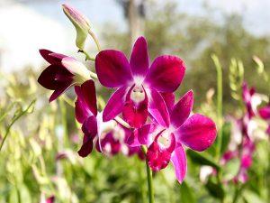 Giải mã giấc mơ thấy hoa lan