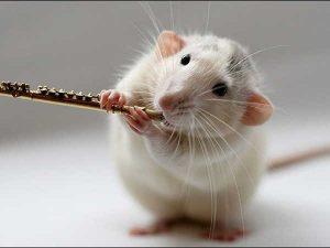 Mơ thấy chuột là điềm hên hay xui, chuột là số mấy?