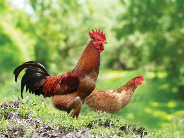 Nằm mơ thấy gà đánh con gì