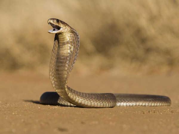 Mơ thấy rắn hổ mang điềm hung hay cát, con số phát tài là số nào?